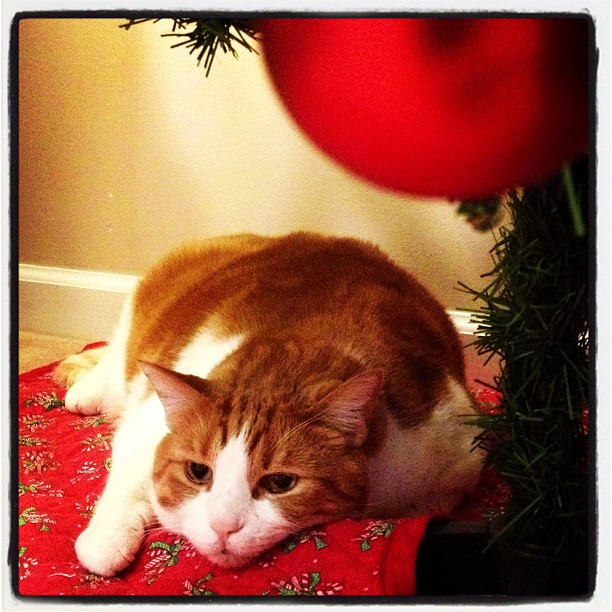 Mr. Tom under the Christmas tree. Photo by LWS