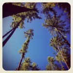 Forest trees and sky