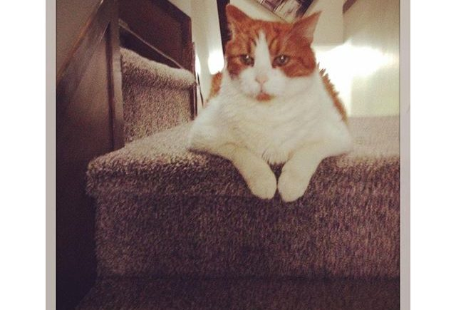 Mr-Tom-These-stairs-are-mine-intercer-cat-cats-pet-pets-petsofinstagram-catsofinstagram-orangecat-wh