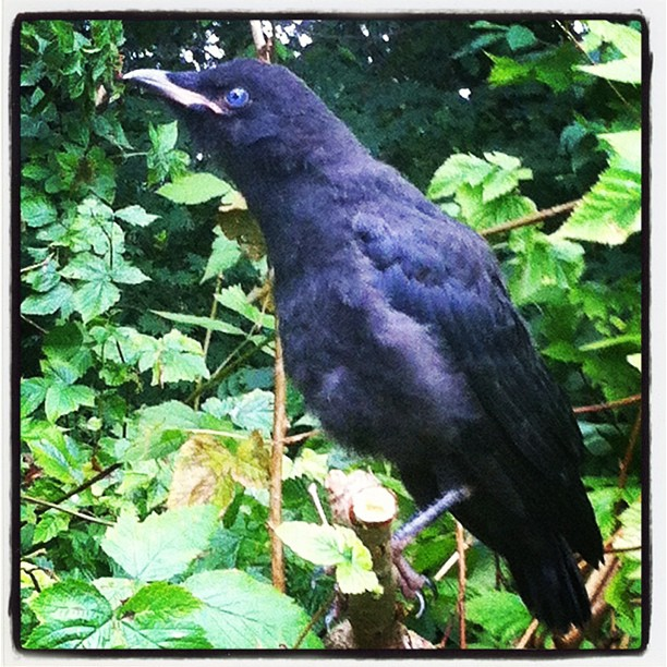 The blue eyes crow
