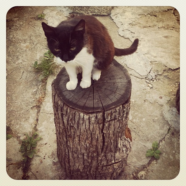 Pet portrait - Cat on a stump