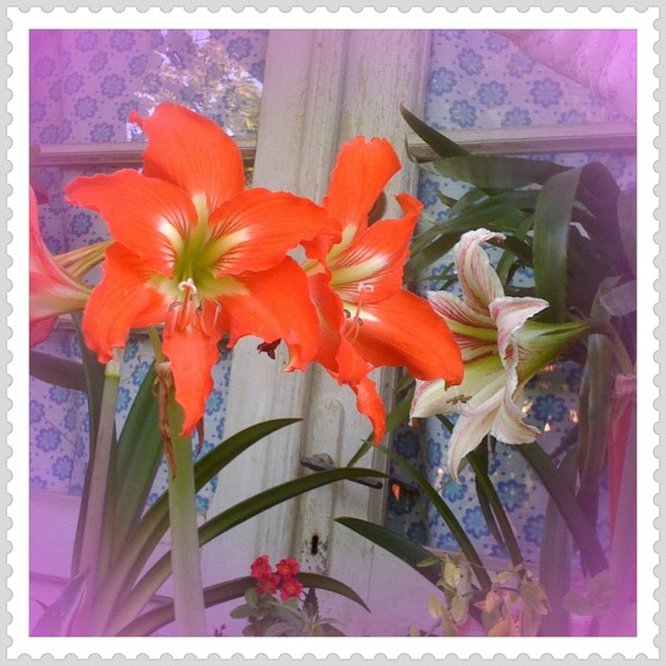 Country lilies