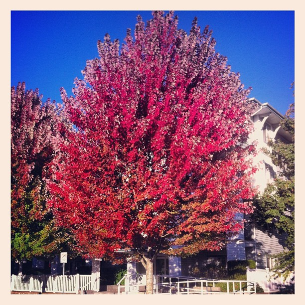 Beautiful fall tree in Maple Ridge