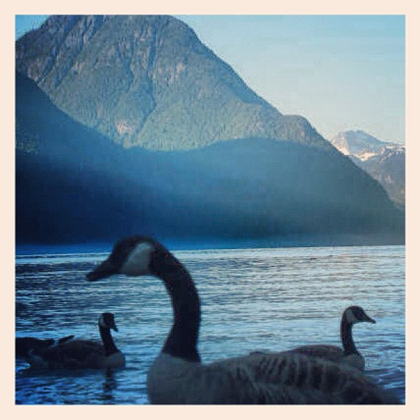 A few geese on the Pitt Lake (Maple Ridge/Pitt Meadows)