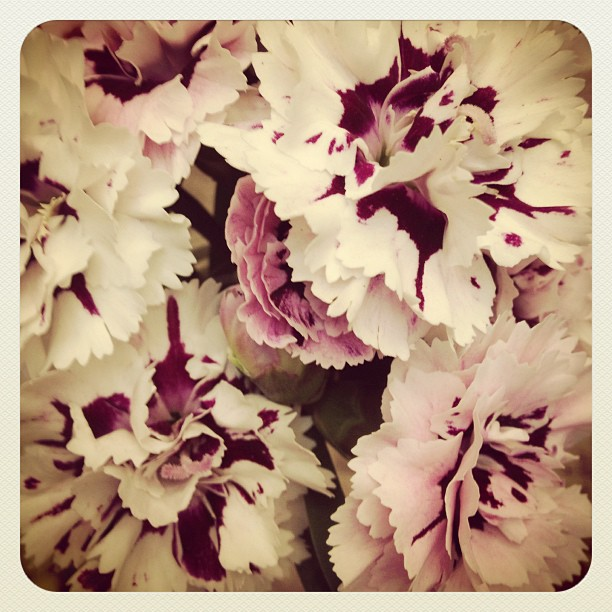 Beautiful carnation flowers from Rosy's balcony garden