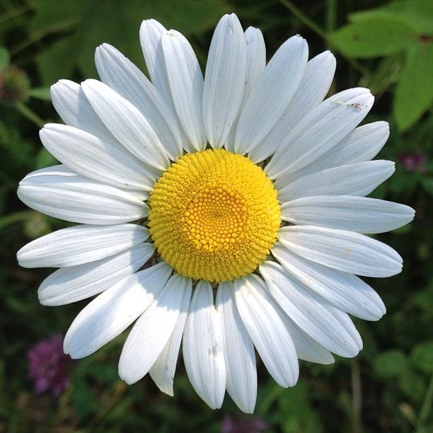 Beautiful daisy at SilverHills.ca