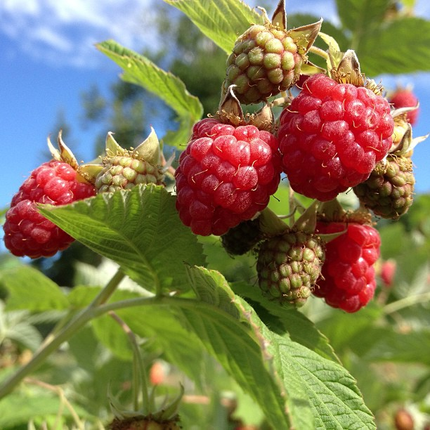 Raspberries at SilverHills.ca