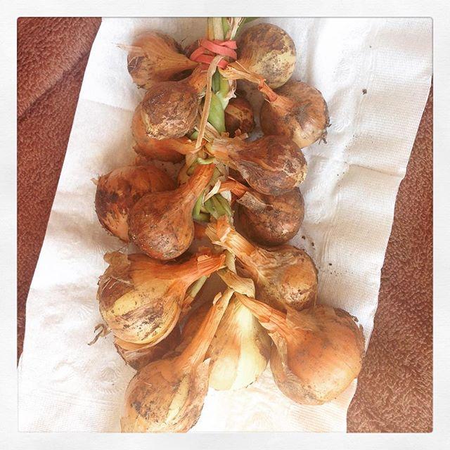 Rosy's onion harvest
